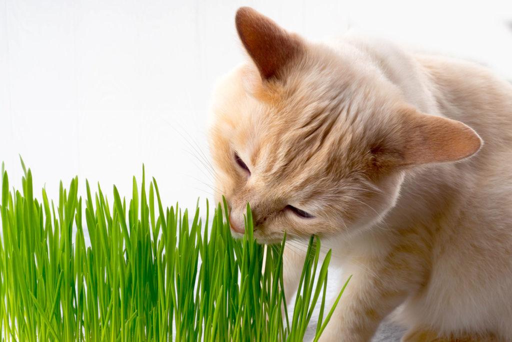 ต้นไม้แมวกินได้ ต้นอ่อนข้าวสาลี