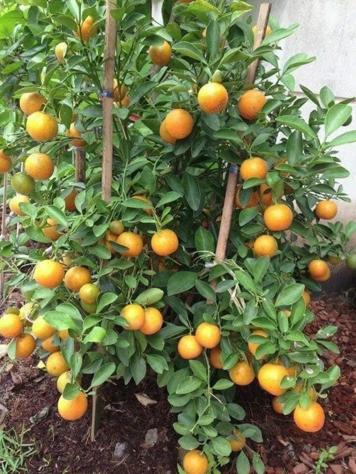 ต้นส้มจี๊ดต้นไม้มงคล ปลูกหน้าบ้านเสริมดวงได้